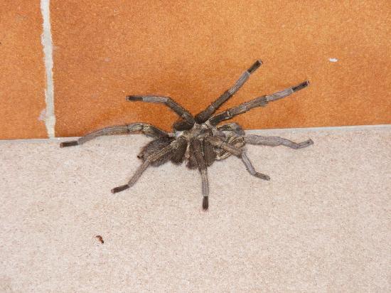 Hotel Villa El Yarey : Bird eating spider