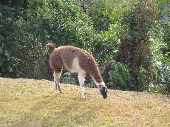 Machu Picchu, Pérou : Llama