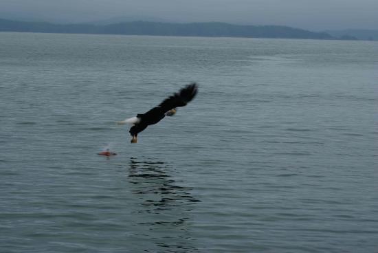 Eagle Nook Resort: Eagle On Final For Rock Fish