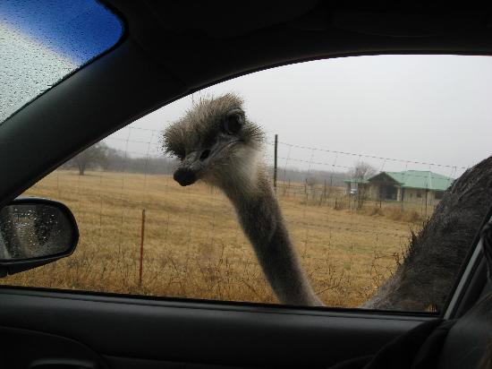 Foothills Safari Camp at Fossil Rim: Persistant Ostrich