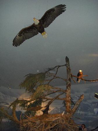 Alaska State Museum: Bald Eagle Display