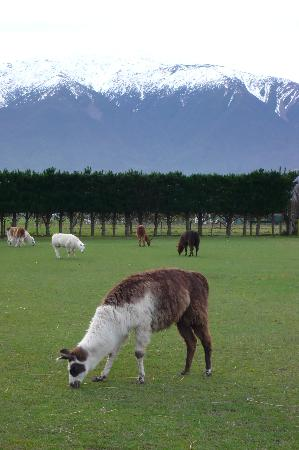 Kaikoura, New Zealand: Llamas & snow topped mountain