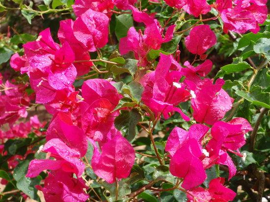 Anguilla: Flowers at Carimar