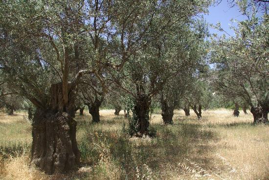 Sagterra Studios: Olive grove, Naxos