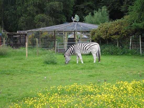 North Kessock, UK: picture of one of the three zebras at the park