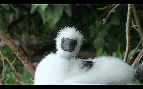 Namena Island Dive Resort: baby red-footed boobie