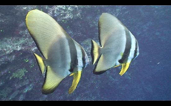 Namena Island Dive Resort: spadefish