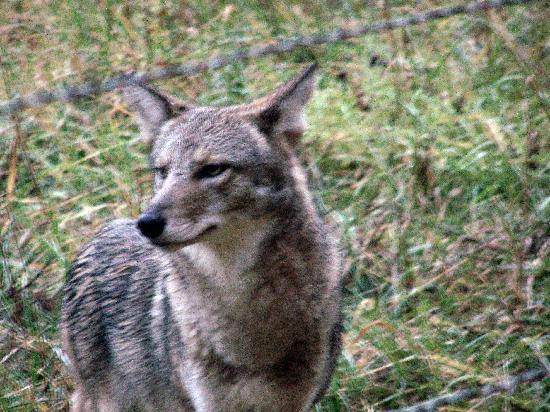 White Oak Lodge & Resort: Coyote we saw in Cades Cove