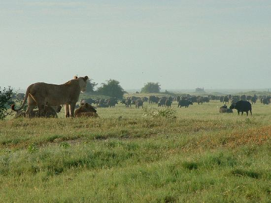 Okavango Delta, Μποτσουάνα: The Lions of Duba Plains