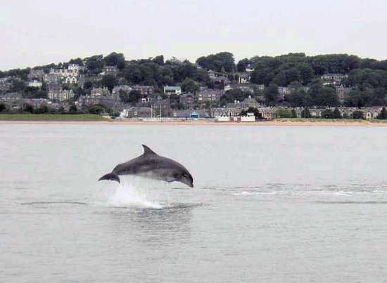 ‪‪Dundee‬, UK: Dolphin in (or should that be out!)  the river Tay at Dundee‬