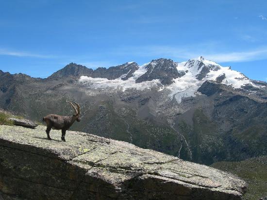 Valle de Aosta, Italia: lo stambecco ed il Gran Paradiso