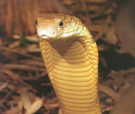 Old Market: Cobra :P