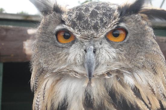 Screech Owl Sanctuary: Eagle Owl