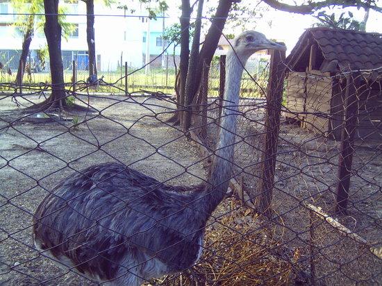 Santa Cruz Zoo: avestruz