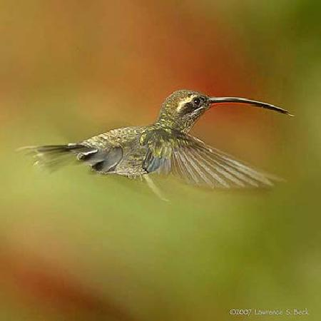 El Descanso: White Whiskered Hermit