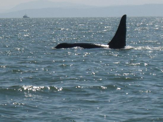 Sidney Whale Watching: another orca