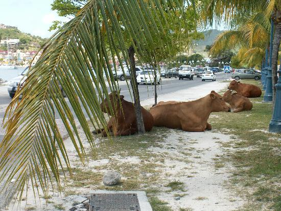The Summit Hotel : In some towns, cats and dogs roam the streets. In St Maarten..