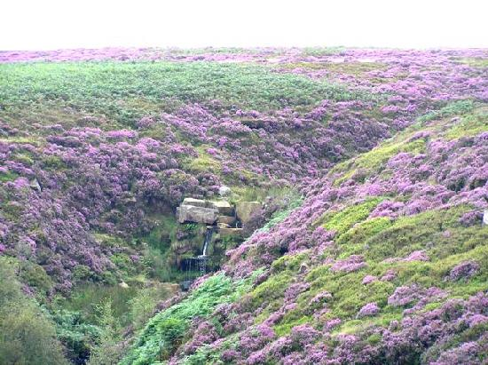 The Old Registry Haworth: Heather on the moors