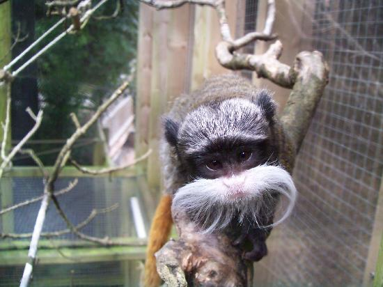 Paignton, UK: Pied tamarin monkey