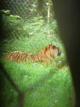 Paignton, UK: Tiger