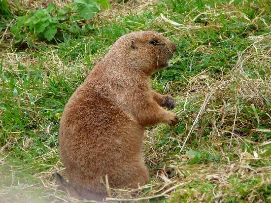 Paignton, UK: Prairie dog