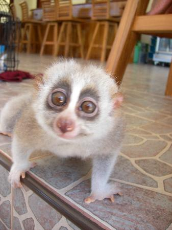 Gillhams Fishing Resorts: Slow Lorris....what a beautiful animal.