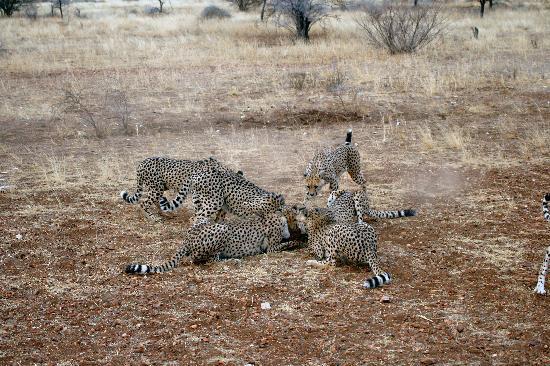Lodge at Otjitotongwe Cheetah Park: Feeding frenzy