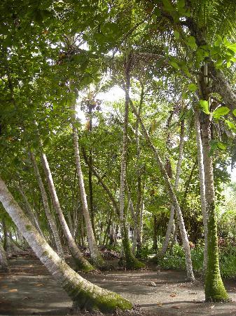 Cabinas Los Cocos : coco palms at Los Cocos
