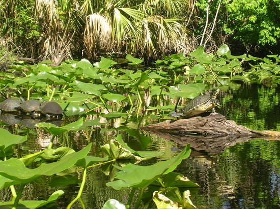 Wekiwa Springs State Park : You'll see many turtles