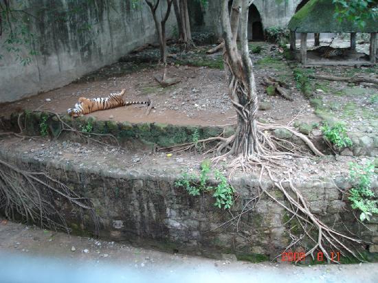 Manila Zoo : tigers