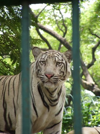 Dusit Zoo: tigre bianca