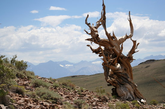 Ancient Bristlecone Forest: A Bristlecone in front of the amazing Sierras
