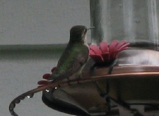Buttonwood Inn on Mount Surprise: Hummingbirds at breakfast