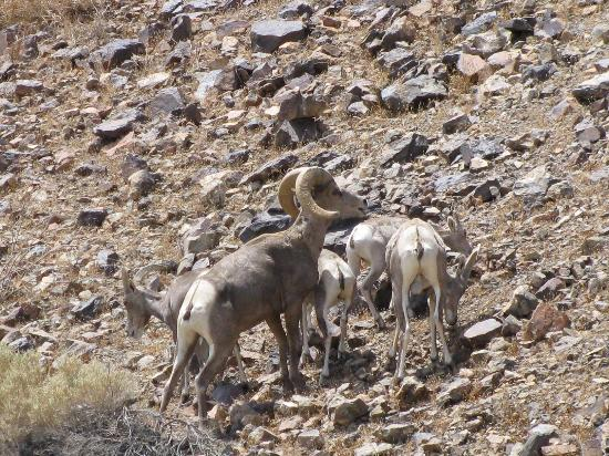 Bighorn sheep on Zzyzx Road, Mojave National Preserve