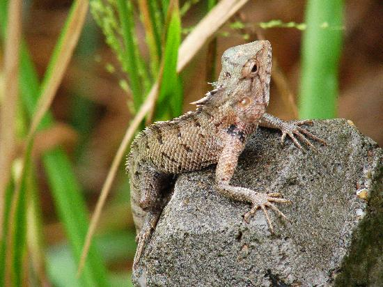 Tangalle, Sri Lanka: kleines Reptil