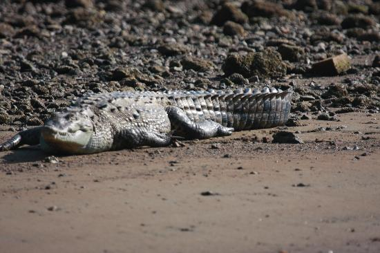La Paloma Lodge: Crocodile near the dock to La Paloma - don't fall in