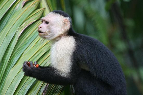 La Paloma Lodge: White-faced Capuchin frequenting the grounds