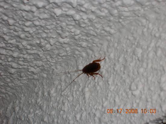 Sea Mist Oceanfront Resort: Roach in our room @ the Sandcastle
