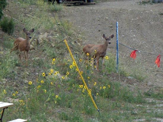 Cedar Rail RV Park & Campground: Cedar Rail Deer