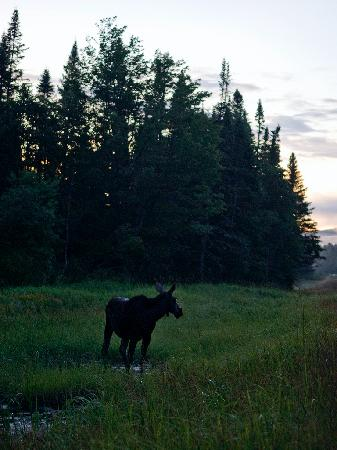 Pemi Valley Moose Tours: Moose!