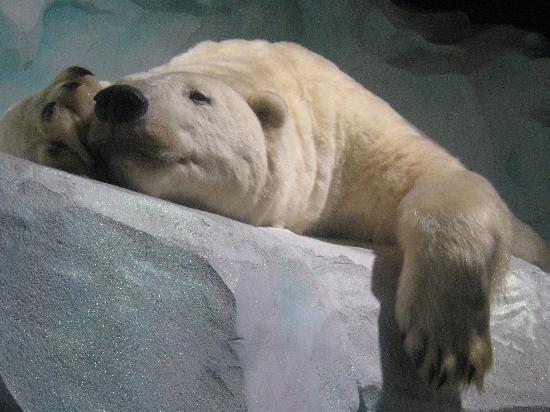 Océanopolis : Polar Bear