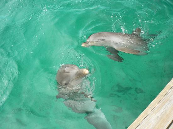 Anthony's Key Resort: Be a dolphin trainer