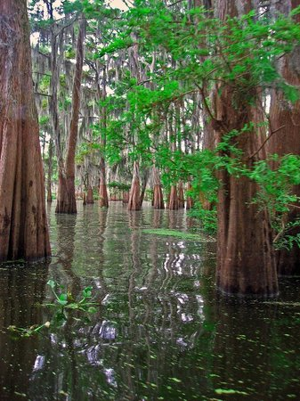Lafayette, Louisiane : The amazing cyprus forest as seen from our boat July 24, 2008.
