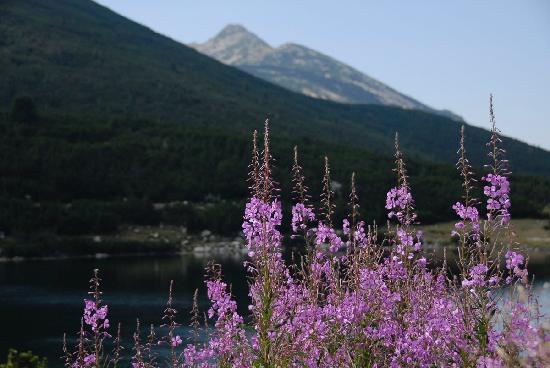 Pirin flowers