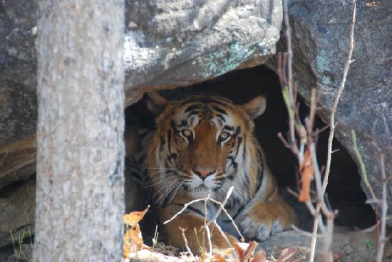 Baghvan Taj Wilderness Lodge: Male Tiger