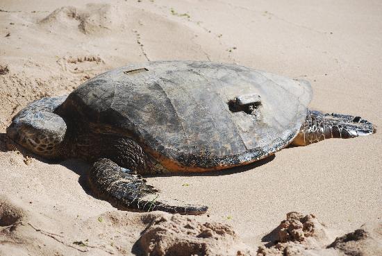 Honolulu Hi Turtle Beach