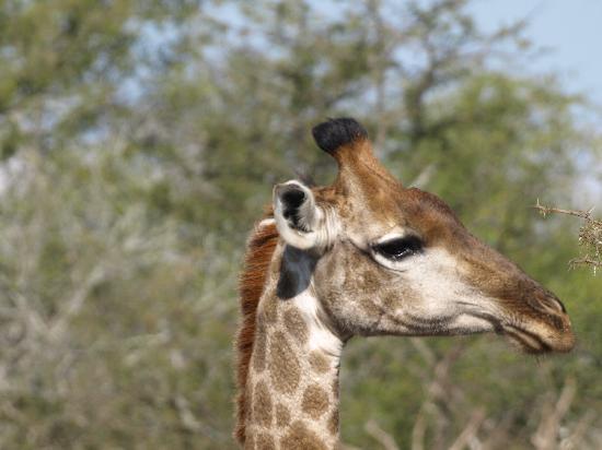 Manyatta Rock Camp: baby girraffe