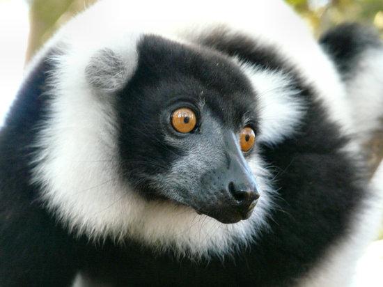 Madagascar : Lemur