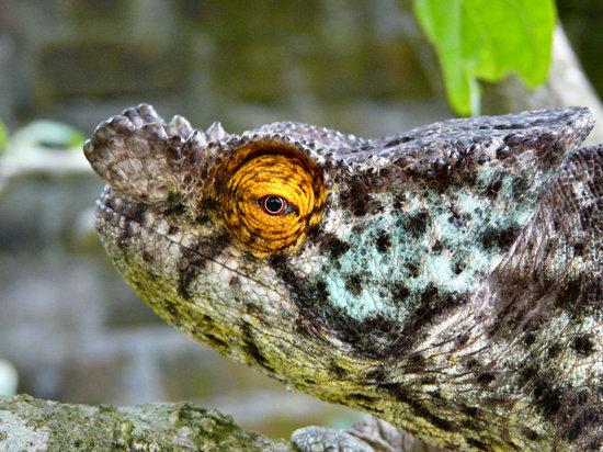 Madagaskar: Chamelion