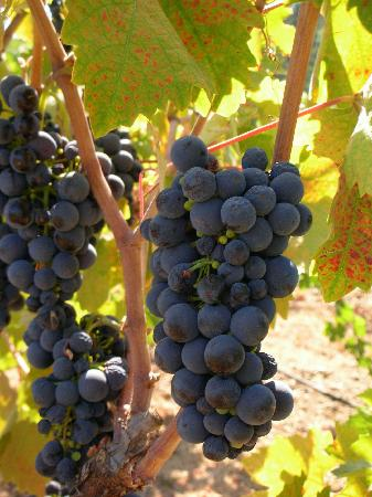 Best Western Dry Creek Inn: Grapes from one of the wineries